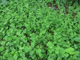 What is the clover? And How to Get Rid Of Clover in Lawn: An Extensive Guide